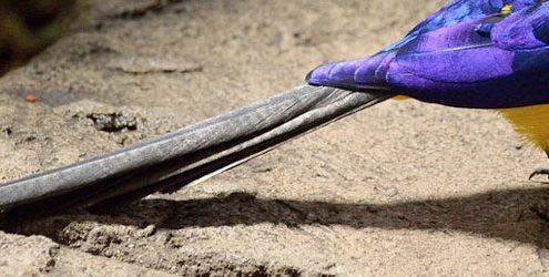 Coda lunga di colore nero di un uccello viola